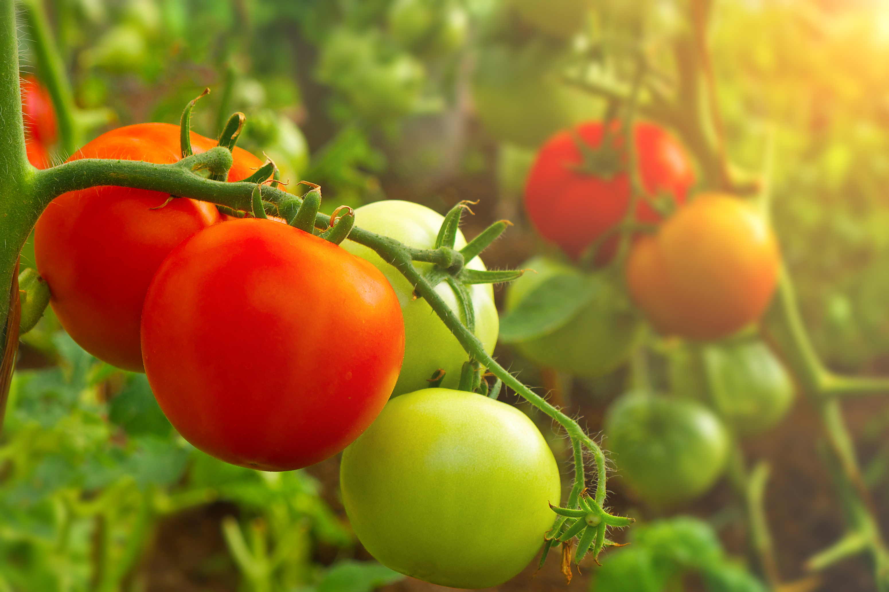 freshpoint-produce-tomatoes