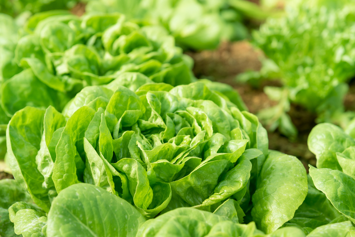 freshpoint-produce-101-lettuce-growing